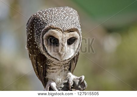 this is a close up of a masked owl
