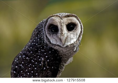 this is a close up of a sooty owl