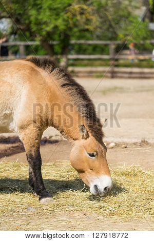 Przewalski's Horse. Horse eating hay. Beautiful wild horse in capture. Przewalski horse.