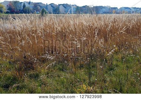 Tall grasses grow in the Wildflower Park of Naperville, Illinois during November.