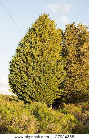 Large Trees Tasmania