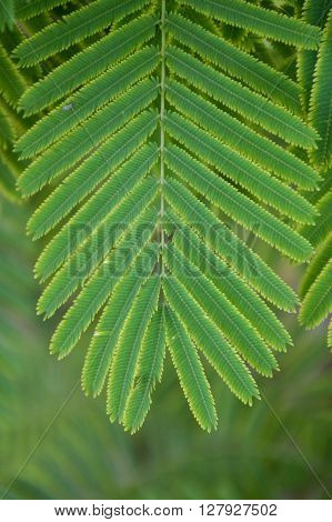 green climbing wattle leaves in vegetable garden