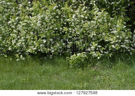 9 bushes blooming bird cherry tree and green lawn in front of them