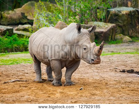 Black Rhinoceros - Diceros bicornis - in the zoo.
