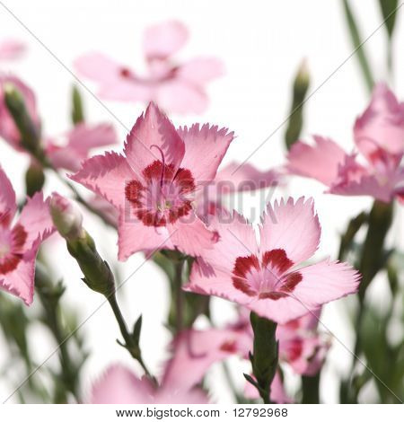 pink Flowers against a white background
