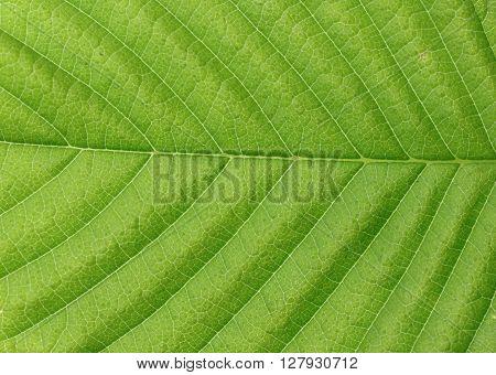 Green leaf texture. Green leaves background. Green leaf macro