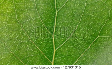 Macro green leaf texture. Green leaves background closeup