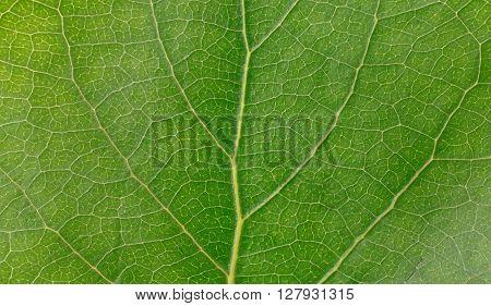Macro green leaf texture. Green leaves background closeup