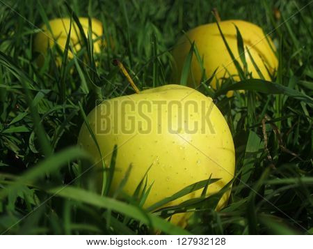 Big wet yellow fresh apples on a spring field of green grass