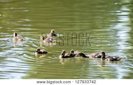 Group Of Little Mallard Ducklings – Anas Platyrhynchos – In The Water