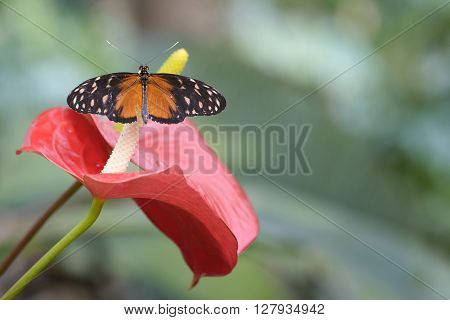 butterfly on red calla flower in outdoor