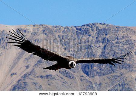 Condor en Colca