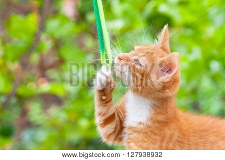 Yellow kitty cat playing with ribbon in the garden