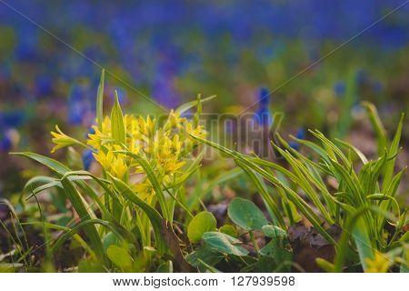 Blooming Gagea lutea or Yellow Star-of-Bethlehem blue flowers on bokeh