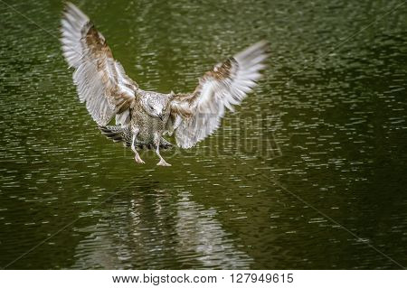 Gull flight over the park Pond in Palanga