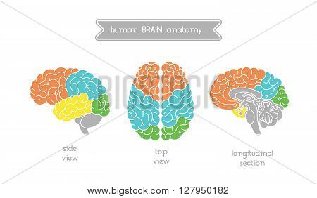 Vector human brain views. Brain top view side view and section. Illustration of human brain for medical design educatin or logo design. Easy recolor. Vector human brain. Logo brain.