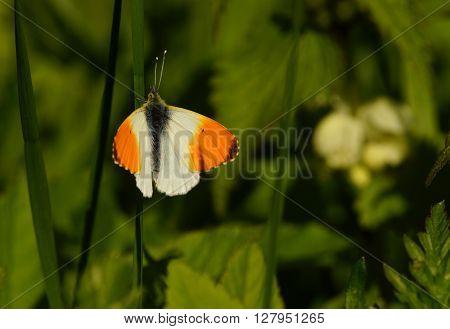 Beautiful butterfly - orange tip in a meadow