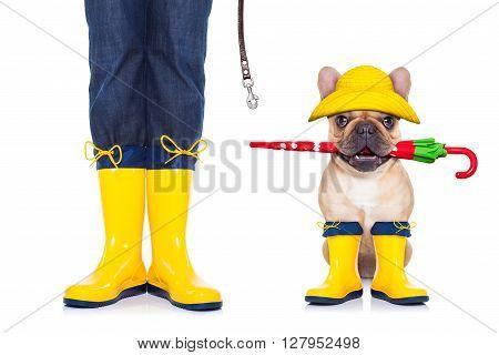 Fawn French Bulldog Ready For A Walk