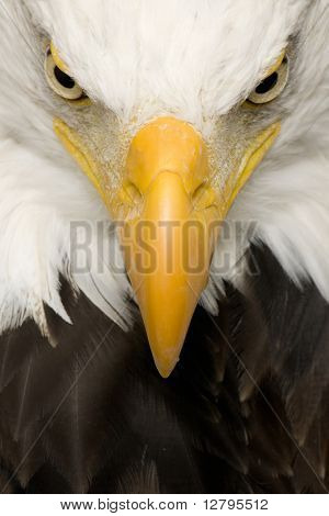Bald Eagle (22 years) - Haliaeetus leucocephalus in front of a white background