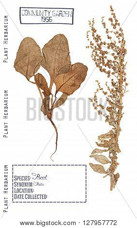 Herbarium of pressed parts of the plant beet. Stem leaves root and flowers isolated on white