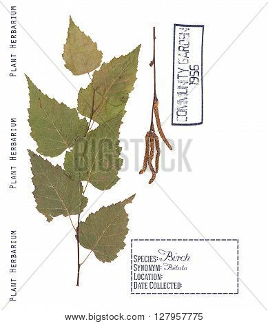 Herbarium of pressed parts of birch tree. Leaves branch and inflorescences isolated on white