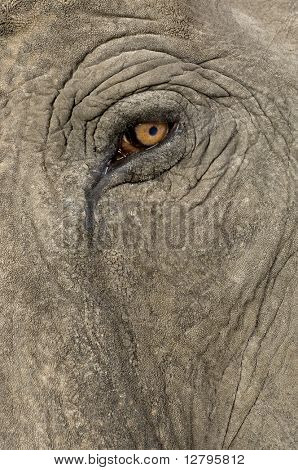 Asian Elephant - Elephas maximus (40 years) in front of a white background