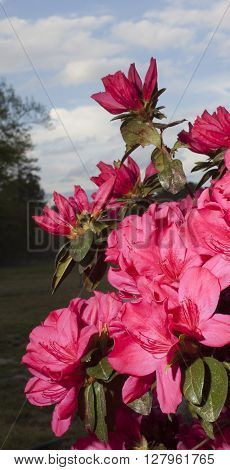 Lots of pink blooms on an azalea bush in the spring
