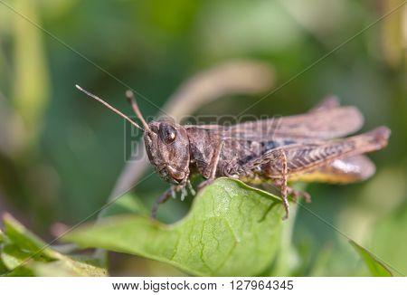 a grasshopper on leaf. A Close up