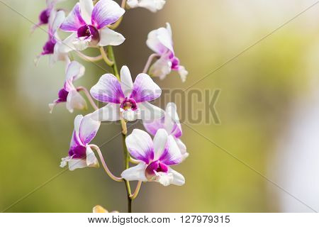 Beautiful of flower plant dendrobium belchim orchids.