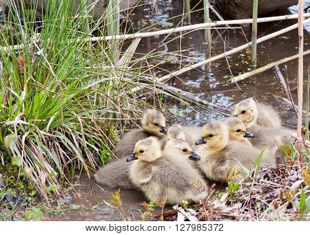 Canada geese goslings swimming in a swamp.