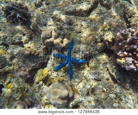 Blue starfish in grey corals, underwater scenery, clear transparent water Amed, Bali, Indonesia