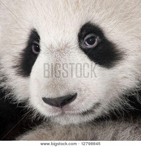 Panda-gigante (4 meses)