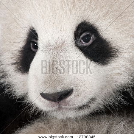 Giant Panda (4 months)