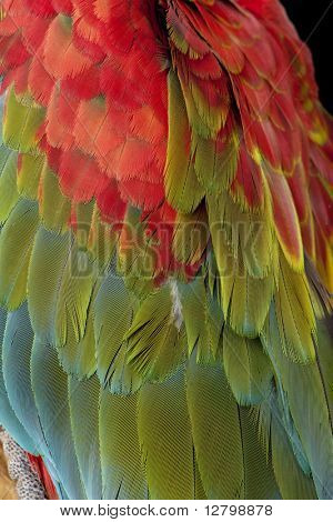 Green-winged Macaw - Ara chloropterus (18 months) in front of a white background