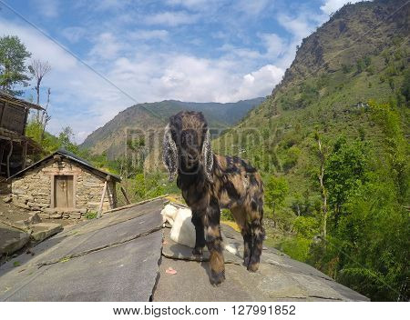 A baby goat on roof top, farm animal, Nepalese village