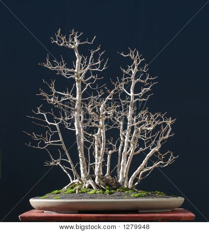 Field Maple As Bonsai In Winter