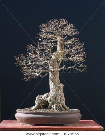 Elm Bonsai In Winter