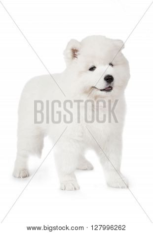 Samoyed puppy dog standing in front of white background and looking forward