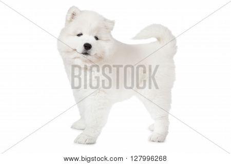 Samoyed puppy dog isolated on white background