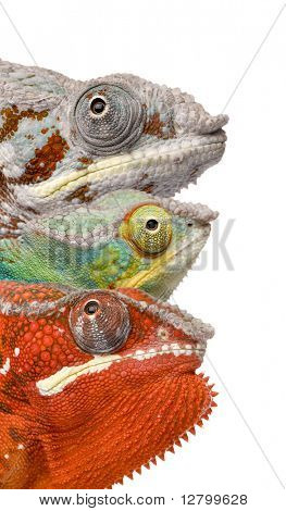 Close-up of colorful Chameleon Furcifer Pardalis, Masoala, 4 years old, in front of white background, studio shot