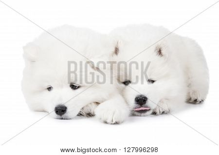 Portrait of seven months old Samoyed puppies dog over white