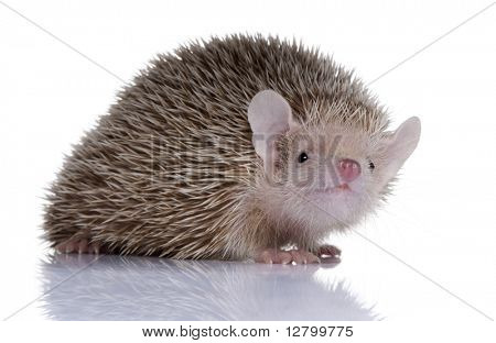 Portrait of Lesser Hedgehog Tenrec, Echinops telfairi, in front of white background