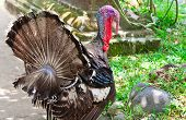 image of turkey-cock  - turkey on green grass - JPG
