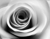 picture of white roses  - close up of beautiful rose in black and white