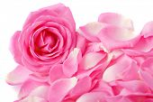 picture of pink rose  - Close up of the pink rose petails - JPG