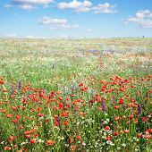 Summer landscape with field and poppies flowers and blue sky