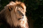stock photo of lions-head  - light silhouetting the head of a lion - JPG