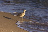 picture of cortez  - Willet fishing in Sea of Cortez - JPG
