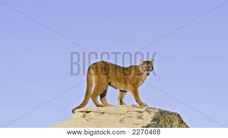 Cougar On Rock Ledge