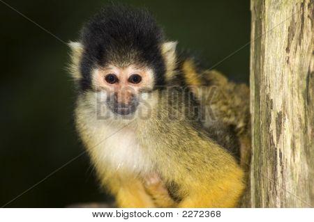 Squirrel Monkey Looking